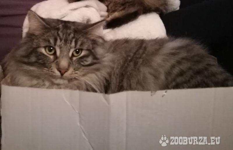 Kocourek Norské lesní kočky-krytí