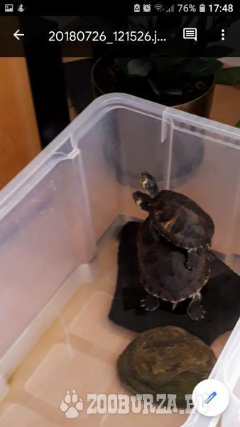 Predám vodné korytnačky
