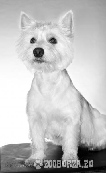West Highland White Terrier REPRODUKTOR