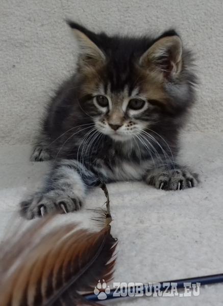 Luxusní Mainská mývalí koťata s PP