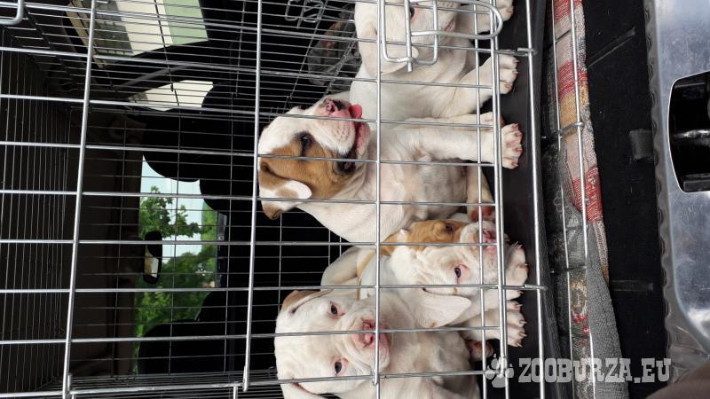 Amerikai bulldog kölykök