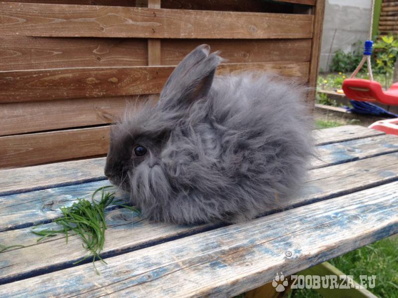 Angorsky králik