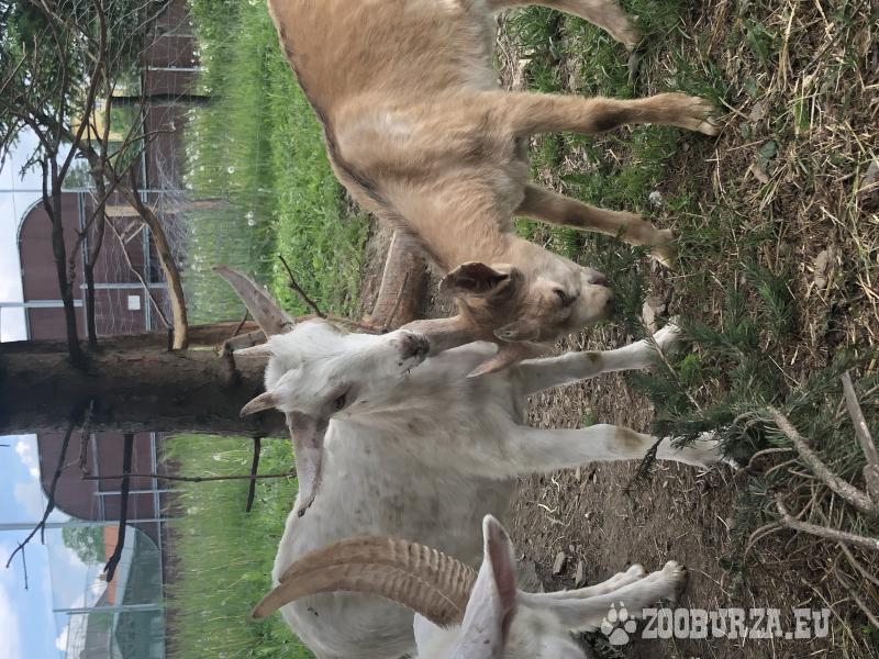 Prodám mladou kozu, nar.24.3.2019