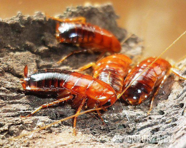 Kŕmny hmyz- šváby