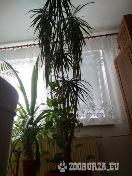 predam palmy