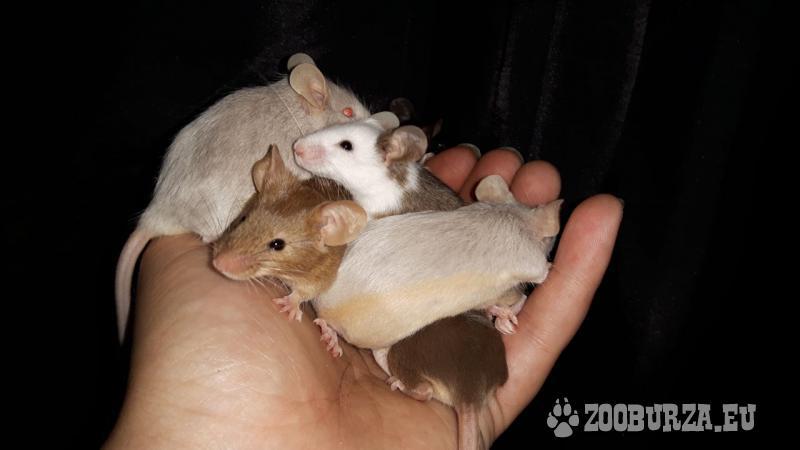 Farebné myšky