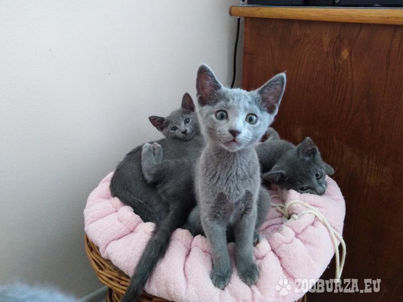Prodám ruskou modrou kočku - kocourka a kočičku PP