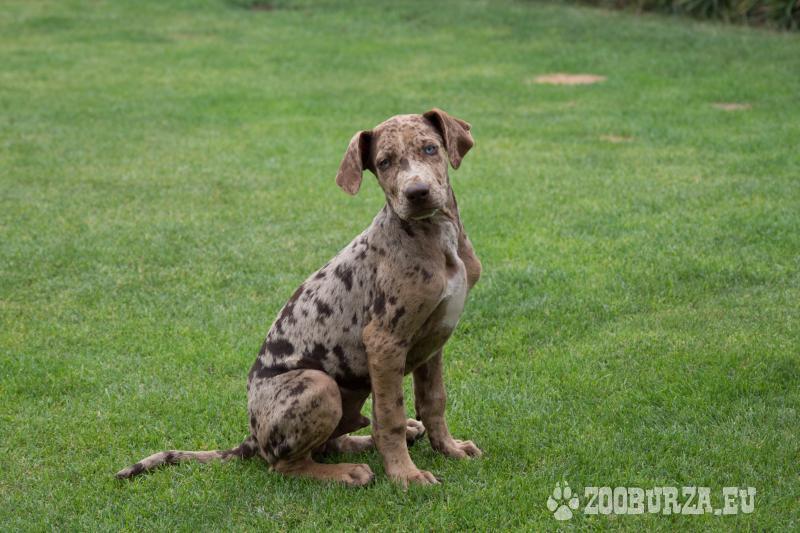 Louisiánský leopardí pes