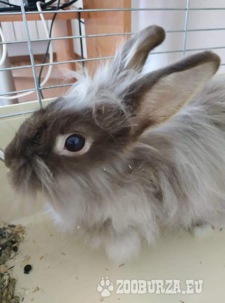 Zakrslý králík TEDDY