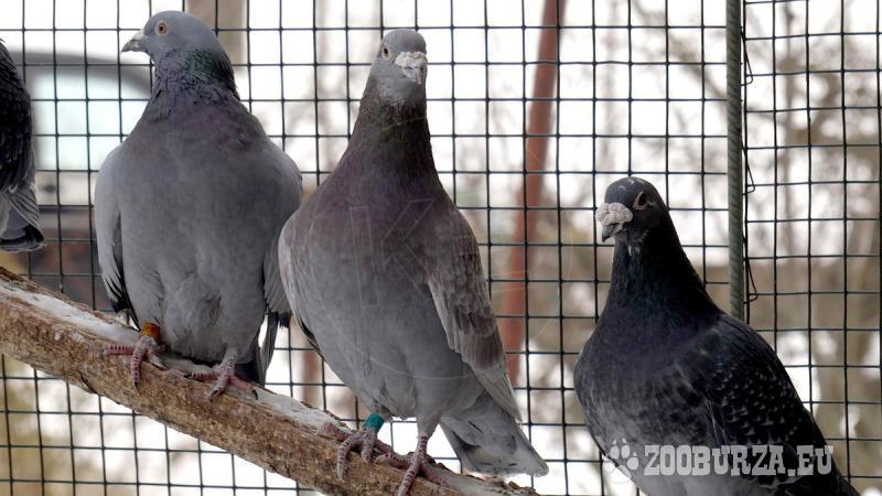 Poštové holuby Aarden