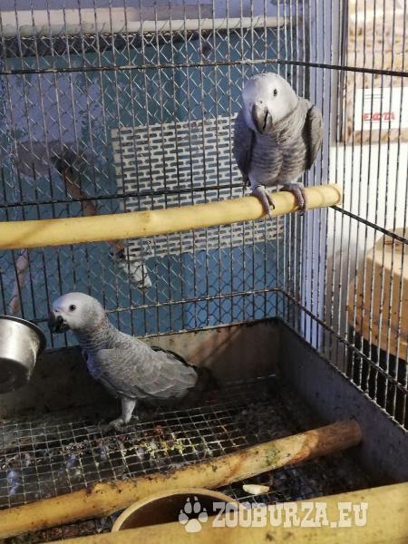 Papagáj sivý - Žako