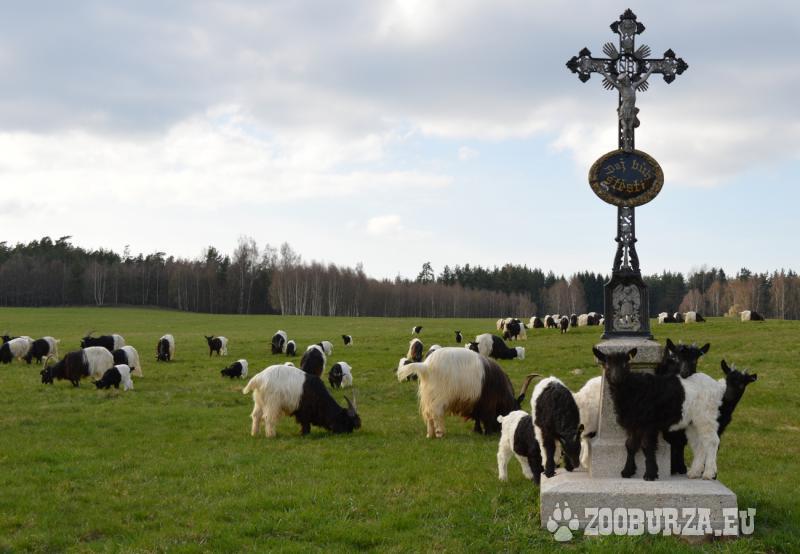 Prodám Walliserská černokrká koza poslední kůzlata