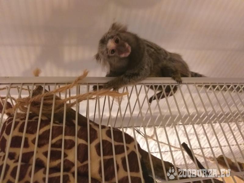 Małpa małpka marmozetka