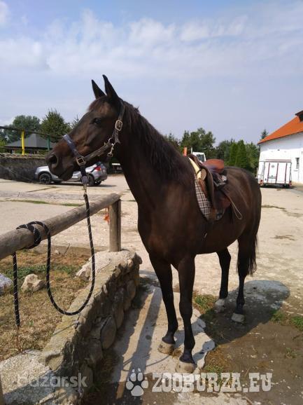 polovičný prenájom koňa