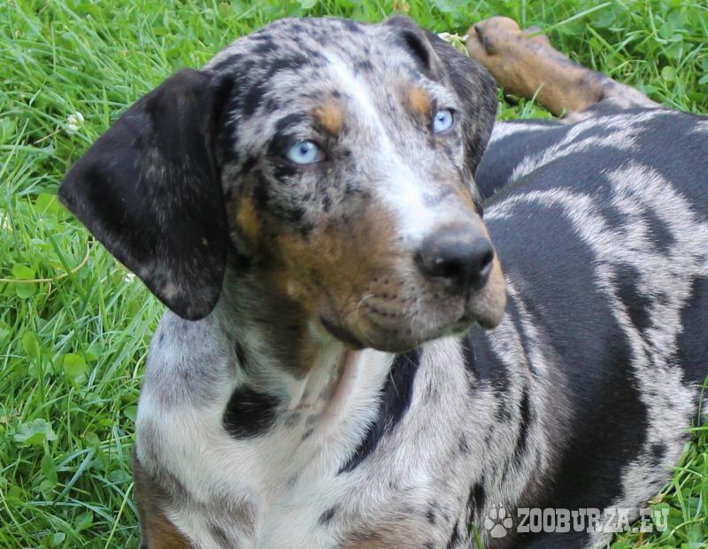 Louisianský leopardí pes,šteniatka s PP