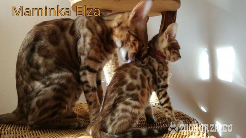 kočka bengálská- kotě s PP