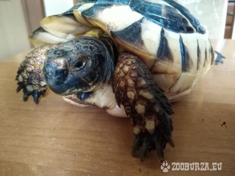 Suchozemská korytnačka (testudo graeca)