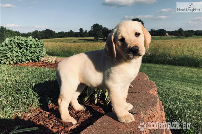 Szczeniak Labrador retriever