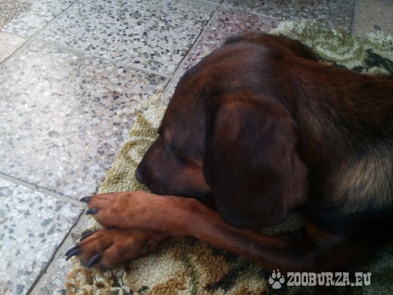 Predám šteniatka poľovníckeho psa Tatranský durič.