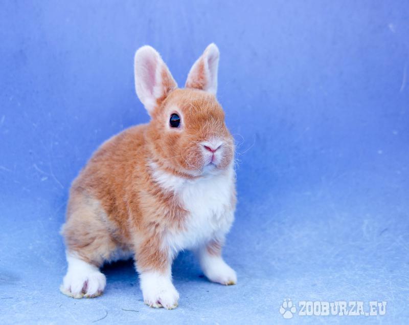 predám zakrslých králičkov - rexíkov