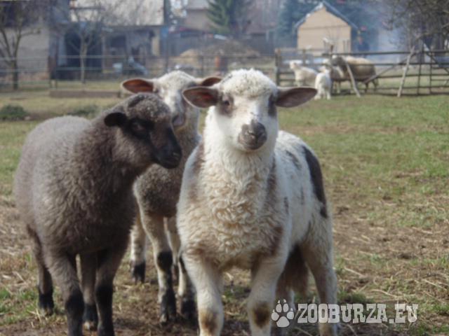 3 mladé ovce
