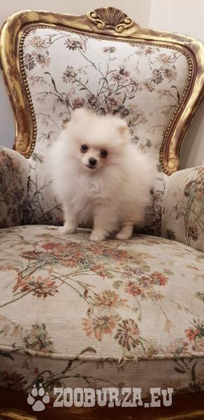 Szpic miniaturowy-Pomeranian