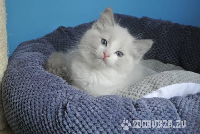 Ragdoll koťátka s PP