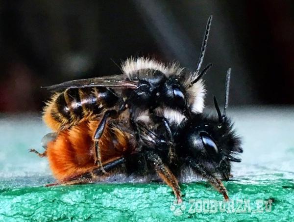 Predám kokóny Včielok samotárok +materiál