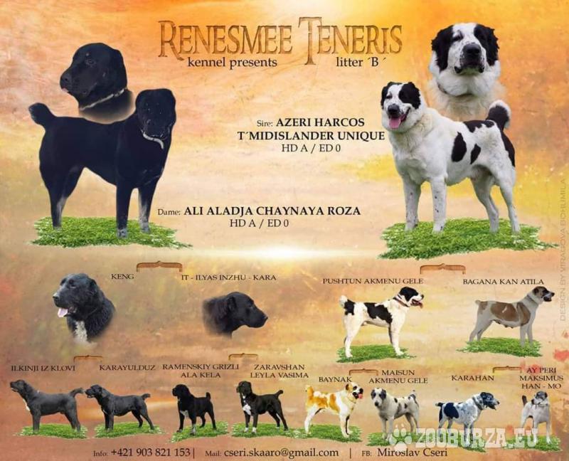 Stredoazijsky pastiersky pes....šteniatka s PP.