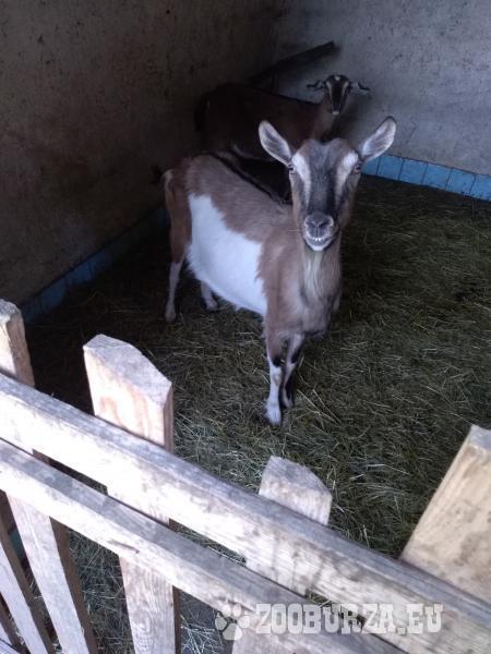 Dospelá koza