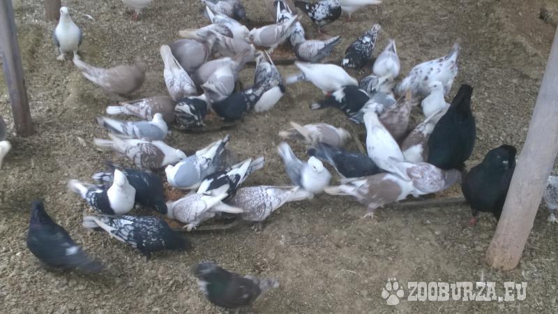 eladó sirályka galambok