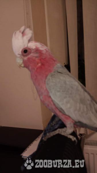Kakadu ružový