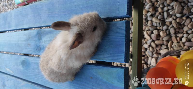 Predám zakrslé zajace