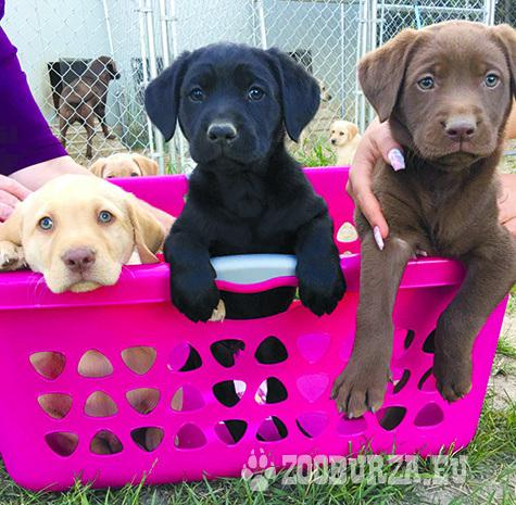 Labrador Retrieve Puppies