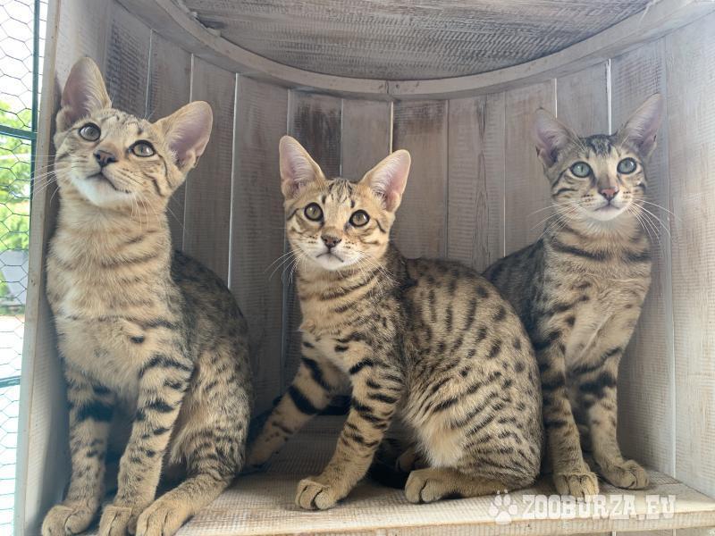 Savannah cats F4 na predaj