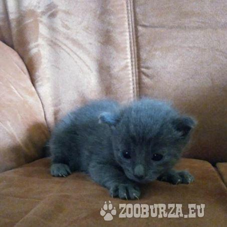 Rarität , Korat Kitten , *08.09.2020