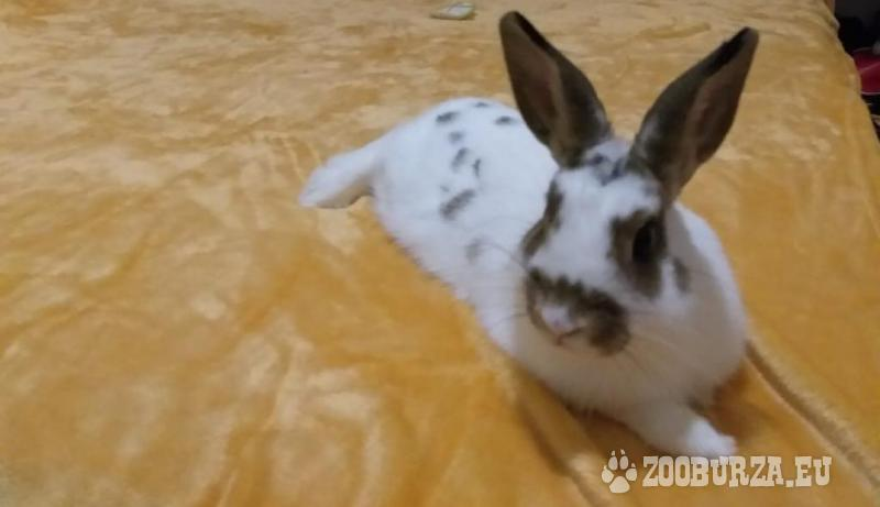 Zakrslý králik