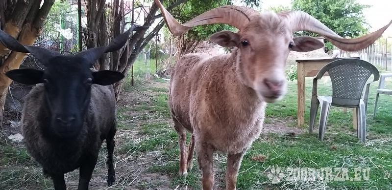 Maďarské ovce