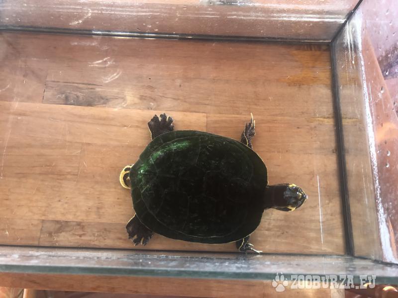 Vodná korytnačka