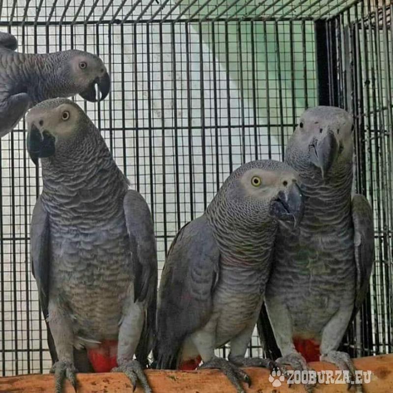 Afričtí šedí papoušci k adopci.