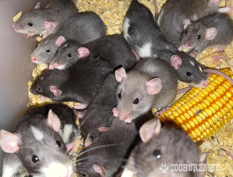 Potkany a mastomyšky