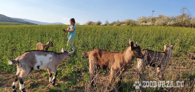 Predam kozy