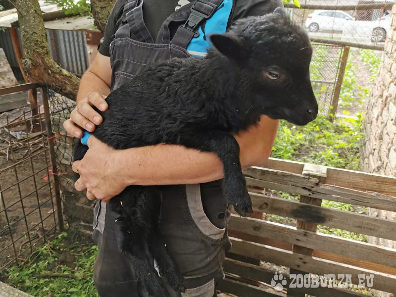 Jahňa mini ovce Quessant