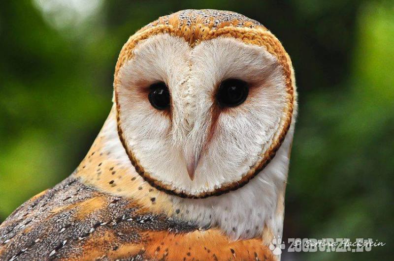 Plamienka driemavá- Tyto alba