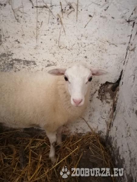 Mini ovečka