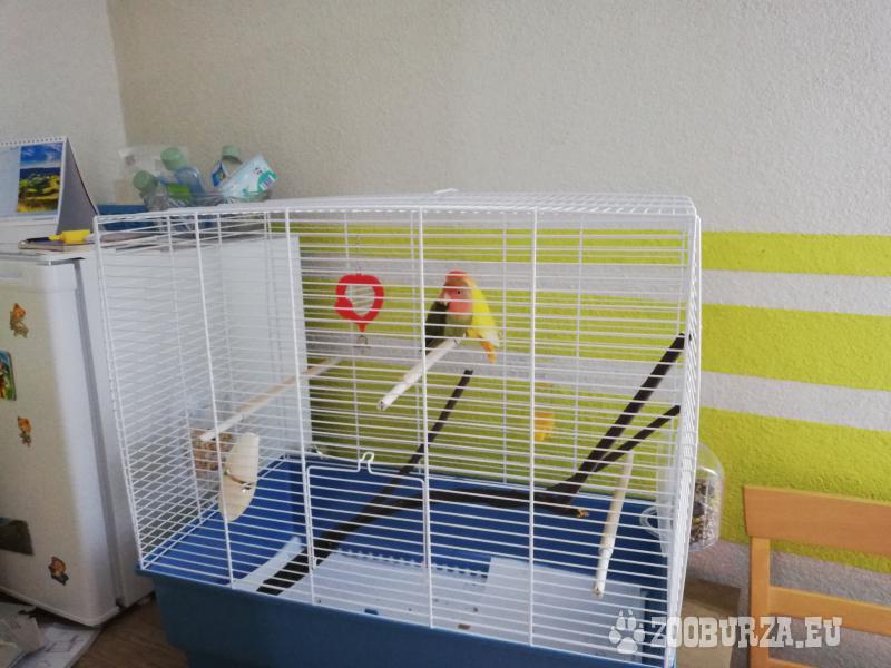 Agapornis papagáje