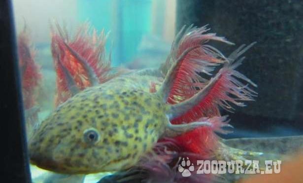 Eladó mexikói axolotl ifjoncok