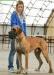 Krytí - německá doga