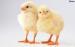 Brojlerove kurčatá