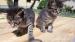 Kotě kocour mourovatý